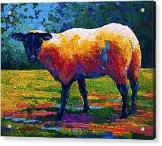 Suffolk Ewe IIi Acrylic Print by Marion Rose