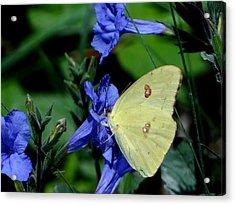 Sulphur Butterfly On Wildflower Acrylic Print by Betty Berard