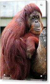Sumatran Orangutan Acrylic Print by Laurel Talabere