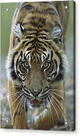Sumatran Tiger Panthera Tigris Sumatrae Acrylic Print by Zssd