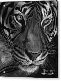 Sumatran Tiger Acrylic Print by Sheryl Unwin