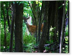 Summer Buck 1 Acrylic Print by Scott Hovind