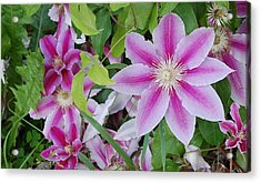 Summer Clematis Acrylic Print