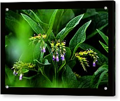Acrylic Print featuring the photograph Summer Comfrey Blooms by Susanne Still