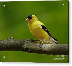 Summer Joy - Male Gold Finch Acrylic Print by Inspired Nature Photography Fine Art Photography