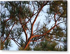 Summer Pine Acrylic Print by Rusty Voss