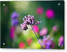 Summer Verbena Acrylic Print