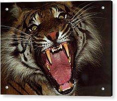 Sumtran Tiger Acrylic Print by Kurt Weiss