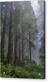 Sun Breaking On Redwoods Acrylic Print