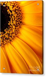 Sun Burst - Sunflower Acrylic Print by Martin Williams
