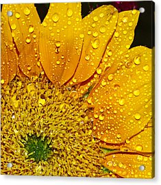Sun Flower Acrylic Print by Michelle Armstrong