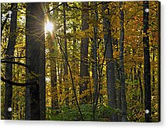 Sun In Trees Acrylic Print by Helen Haw