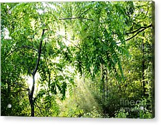 Sun Rays Through Black Walnut Leaves Acrylic Print by Thomas R Fletcher