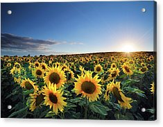 Sun Setting Over Sunflower Field Acrylic Print by Andreas Jones