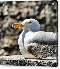 Sunbathing Gull Acrylic Print