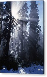 Sunbeams Through Pine Trees Acrylic Print by Natural Selection Craig Tuttle