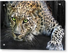 Sundari Acrylic Print by Big Cat Rescue