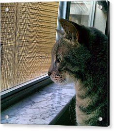 #sunday #cat #kitty #window #gaze Acrylic Print by Arayon Shaw