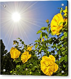 Sunflare And Yellow Roses Acrylic Print