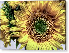 Sunflower 28 Acrylic Print