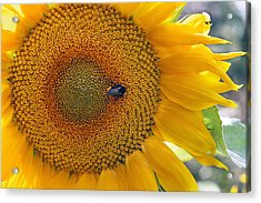Sunflower And A Bumblebee Acrylic Print by Aleksandr Volkov