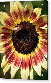 Acrylic Print featuring the photograph Sunflower by Anna Rumiantseva