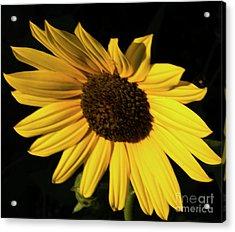 Sunflower At Dusk Acrylic Print