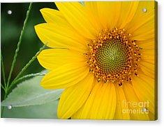 Sunflower Acrylic Print by Bhavesh Chhatbar