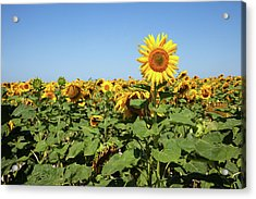 Sunflower Acrylic Print by Billy Currie Photography