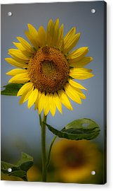 Sunflower Bow Acrylic Print