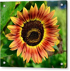 Acrylic Print featuring the photograph Sunflower by Brian Hughes