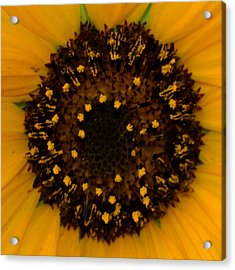 Sunflower Burst Acrylic Print by Dakota Light Photography By Dakota