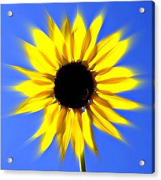 Sunflower Burst Acrylic Print by Marty Koch