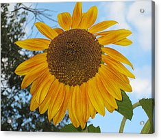 Sunflower Acrylic Print by Carolyn Reinhart