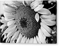 Acrylic Print featuring the photograph Sunflower by Dan Wells