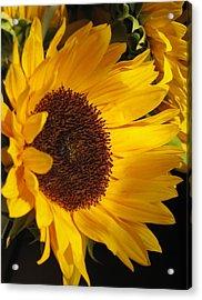 Acrylic Print featuring the photograph Sunflower--dappled Light by Vikki Bouffard