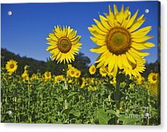 Sunflower Acrylic Print by Dennis Flaherty and Photo Researchers