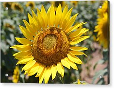 Acrylic Print featuring the photograph Sunflower by Donna  Smith