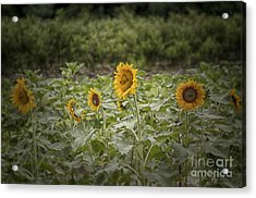 Acrylic Print featuring the photograph Sunflower Driveby by Vicki DeVico