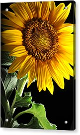 Sunflower Acrylic Print by Dung Ma