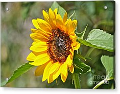Acrylic Print featuring the photograph Sunflower by Eve Spring