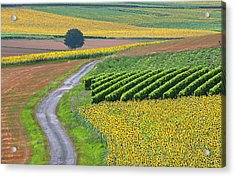 Sunflower Field And Road Acrylic Print by Peter Smith Images