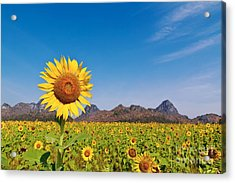 Sunflower Field  Acrylic Print by Tosporn Preede