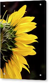 Sunflower From Side Acrylic Print