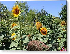 Sunflower Garden Acrylic Print by Theresa Willingham