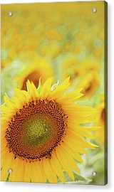 Sunflower In Field Acrylic Print by Dhmig Photography