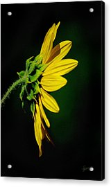 Acrylic Print featuring the photograph Sunflower In Profile by Vicki Pelham