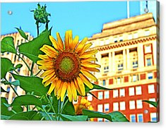 Acrylic Print featuring the photograph Sunflower In The City by Alice Gipson