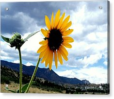 Sunflower In The Rockies With Friends Acrylic Print by Donna Parlow