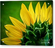 Sunflower Acrylic Print by Larry Carr